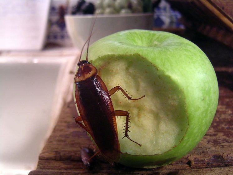 cockroach apple
