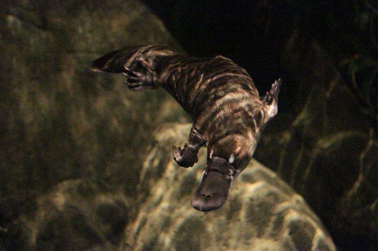 1280px-水中で泳ぐカモノハシ